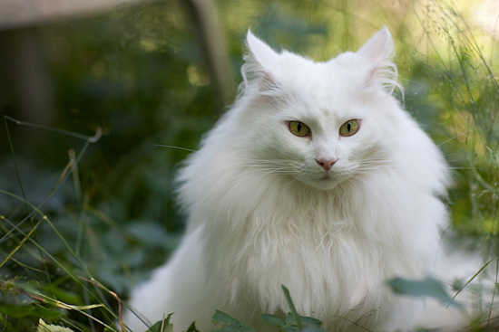 Norwegian Forest Cat Pictures Black And White