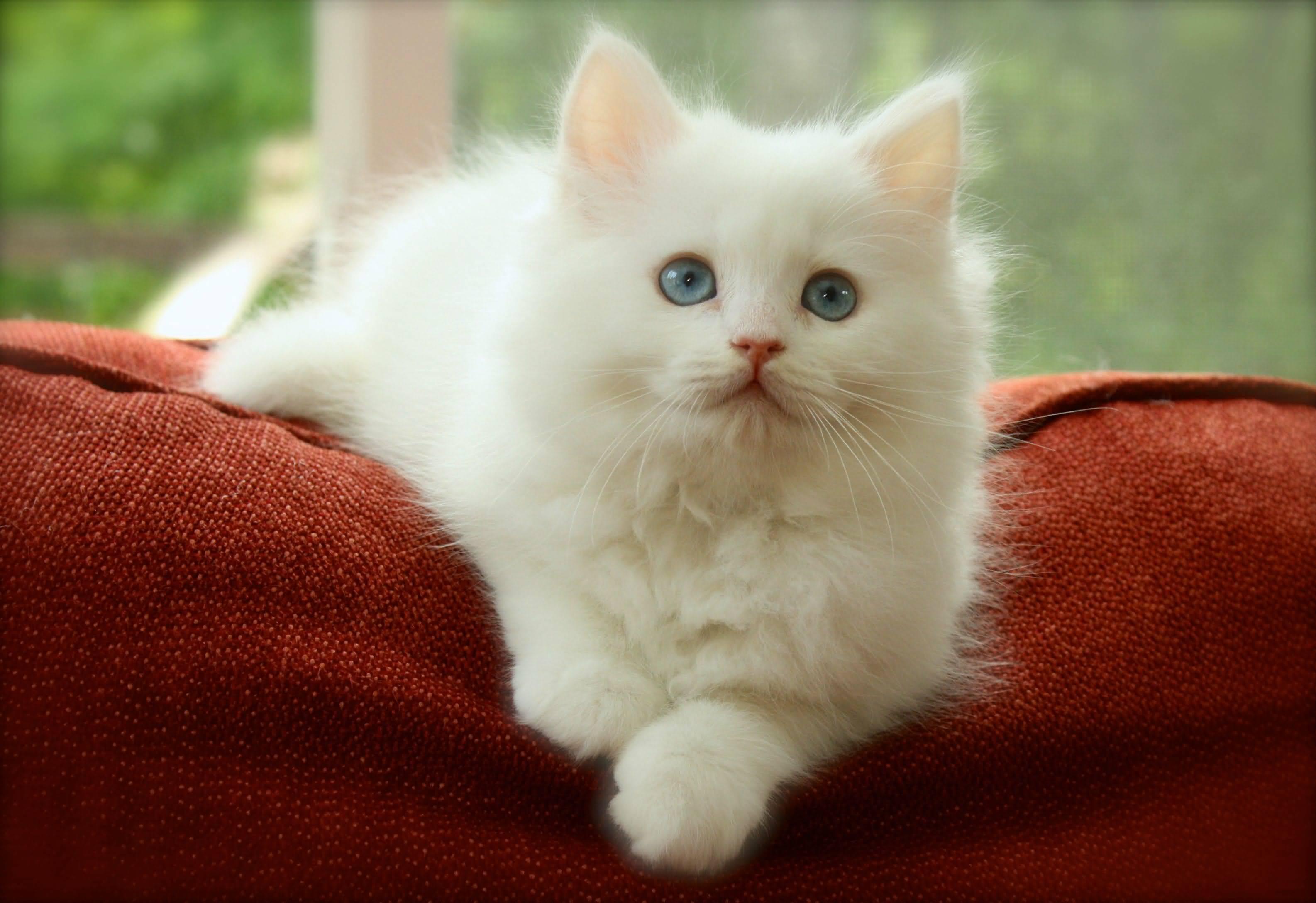 25 Very Beautiful White Siberian Cat s And