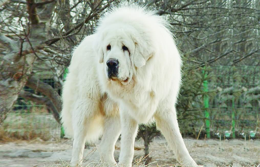 15 most beautiful white tibetan mastiff dog photos and images