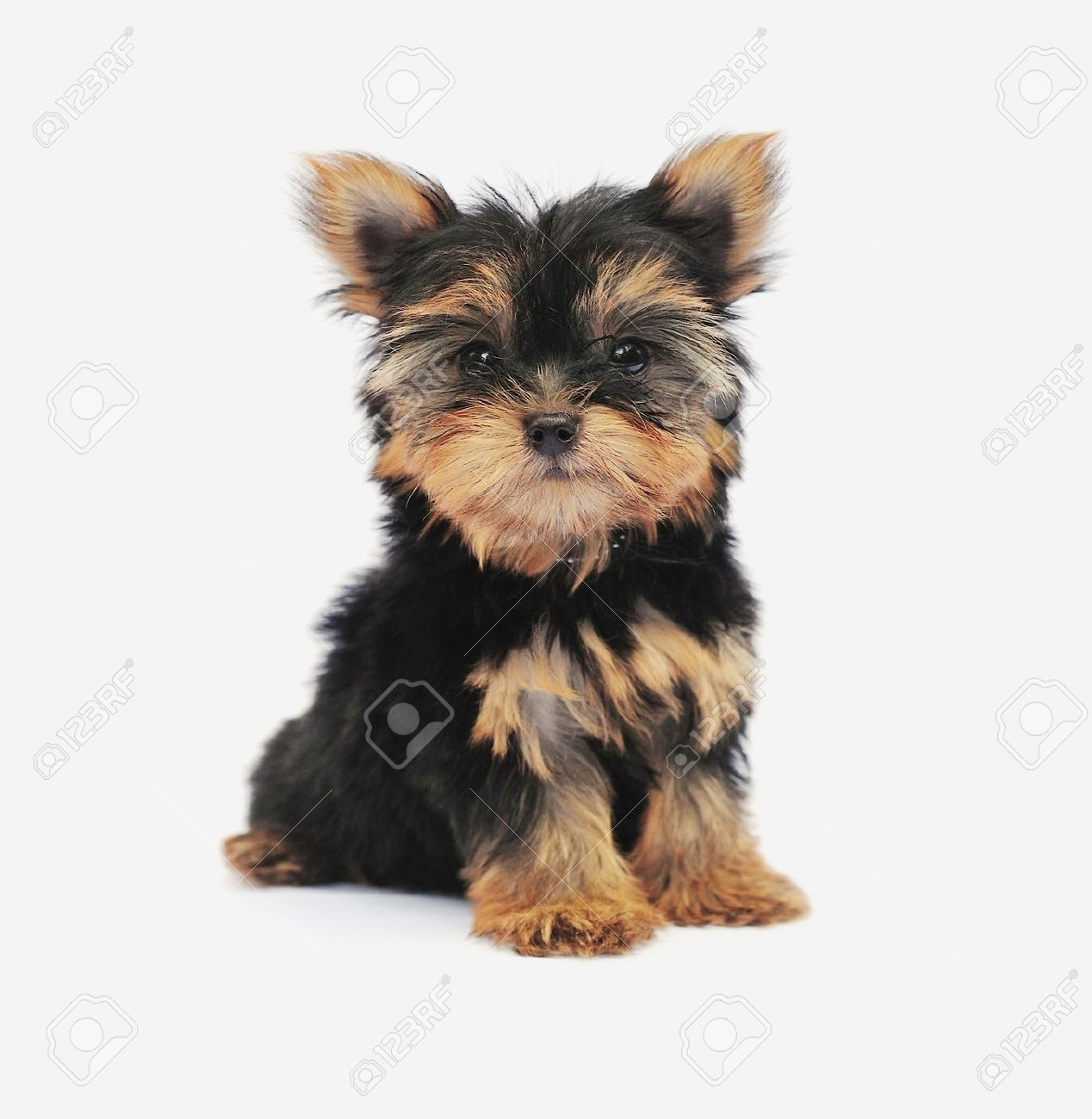 50 Very Beautiful Yorkshire Terrier Dog Photos And Pictures