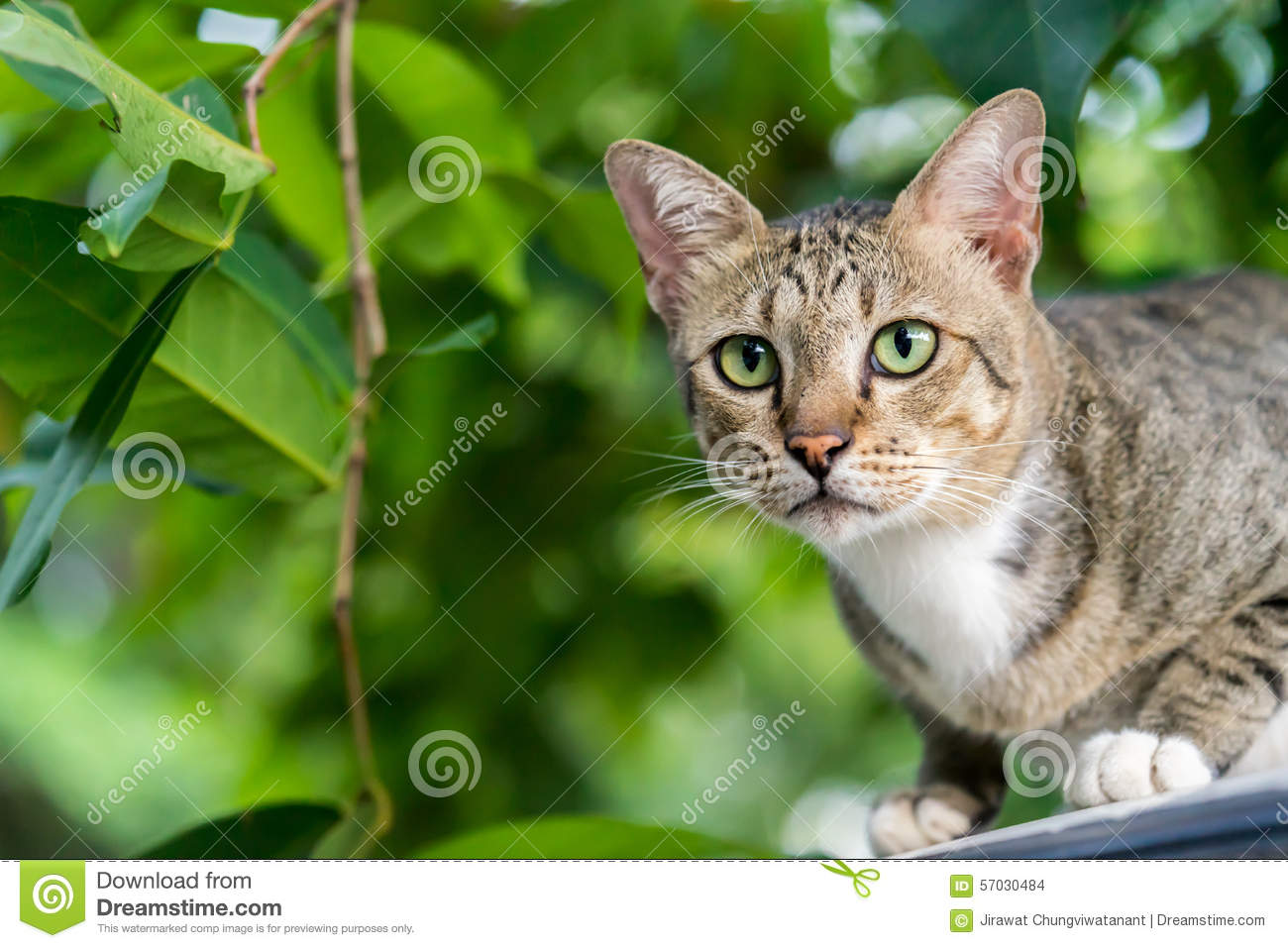 American Shorthair Cat In Forest