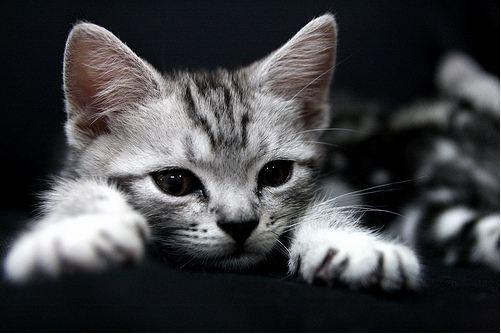 American Shorthair Cat Laying