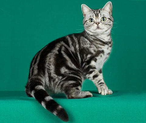 American Shorthair Cat Looking Back