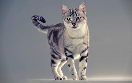 American Shorthair Cat Posing