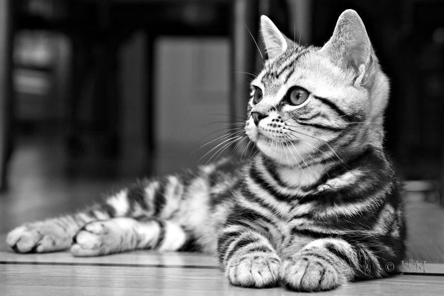 American Shorthair Cat Sitting In Pose