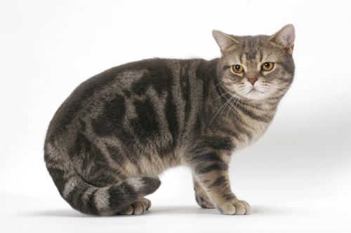 American Shorthair Cat Sitting