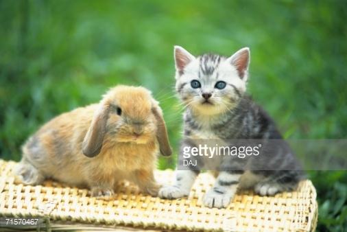 American Shorthair Kitten Sitting With Rabbit