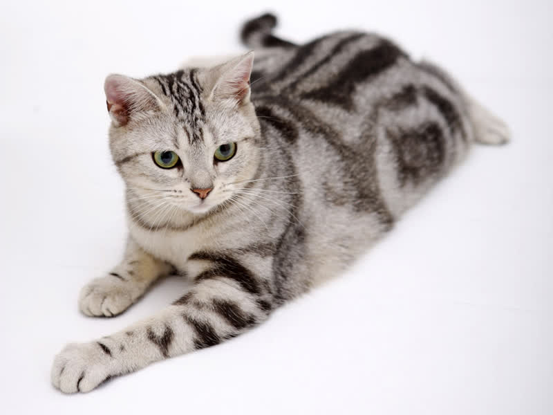 Awesome American Shorthair Cat Sitting