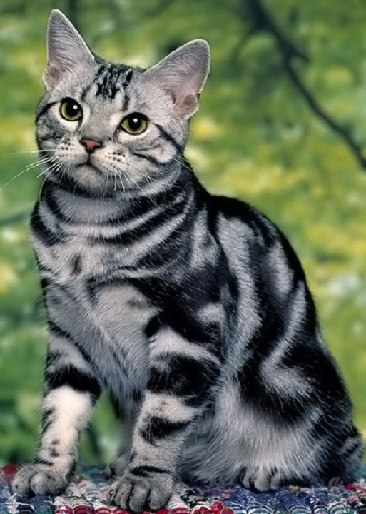 Awesome American Shorthair Cat