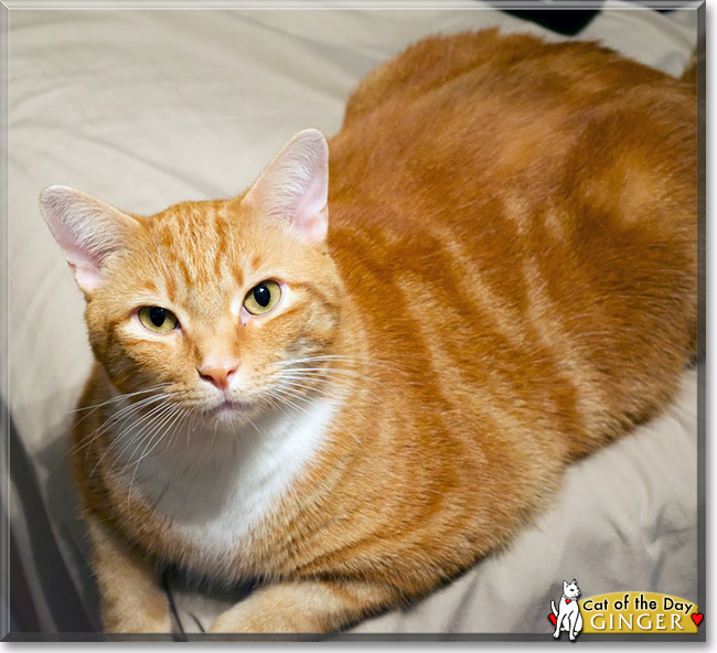 25 most Adorable Orange American Shorthair Cat Pictures And Photos