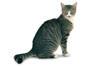 Beautiful Tabby American Shorthair Cat Sitting
