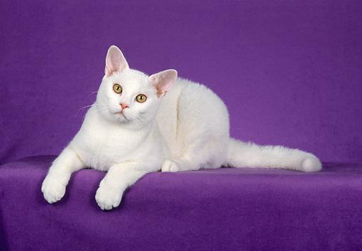 American Shorthair Cat - Askideas.com
