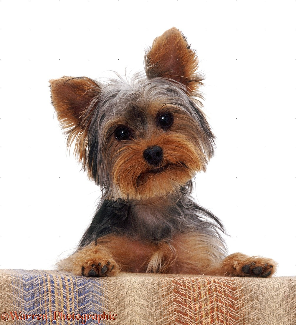 Are Yorkies Good Apartment Dogs