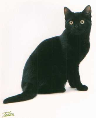 25+ Most Awesome Black American Shorthair Cat Pictures And ...