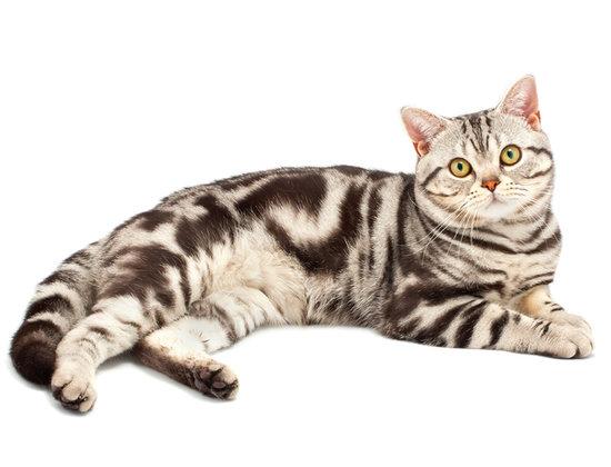 Brown American Shorthair Cat Laying