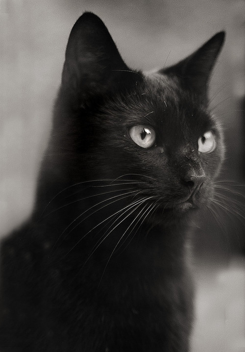 25 most awesome black american shorthair cat pictures and