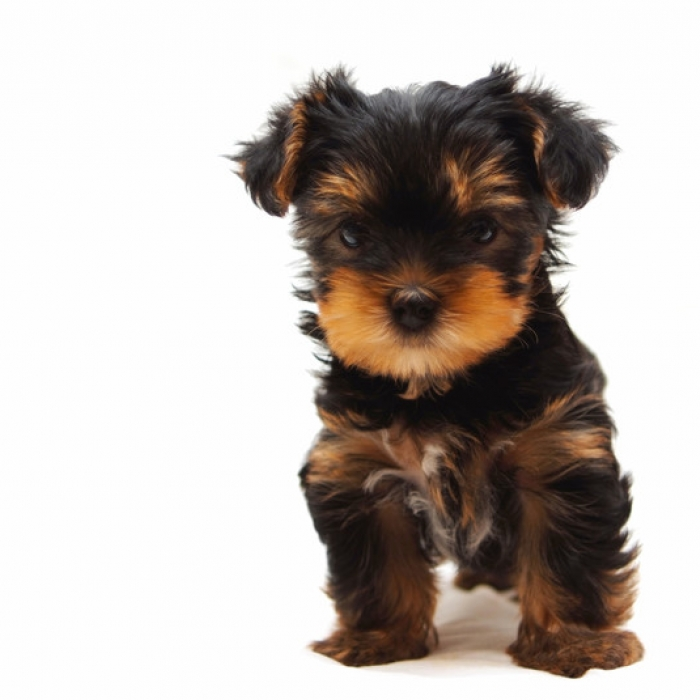 50+ Very Cute Yorkshire Terrier Puppy Pictures And Photos
