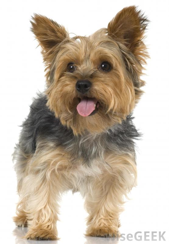 cute little yorkshire terrier puppy. Black Bedroom Furniture Sets. Home Design Ideas