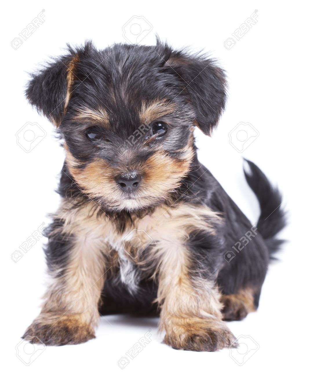 Cute Yorkshire Terrier Puppies Wallpaper | www.imgkid.com ...