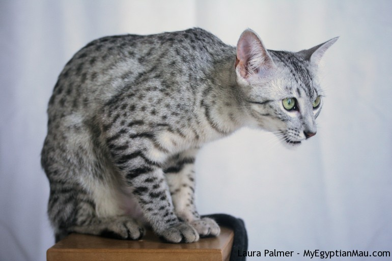 70 Most Beautiful Egyptian Mau Pictures And Photos