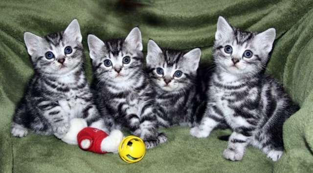 Four American Shorthair Kittens Sitting