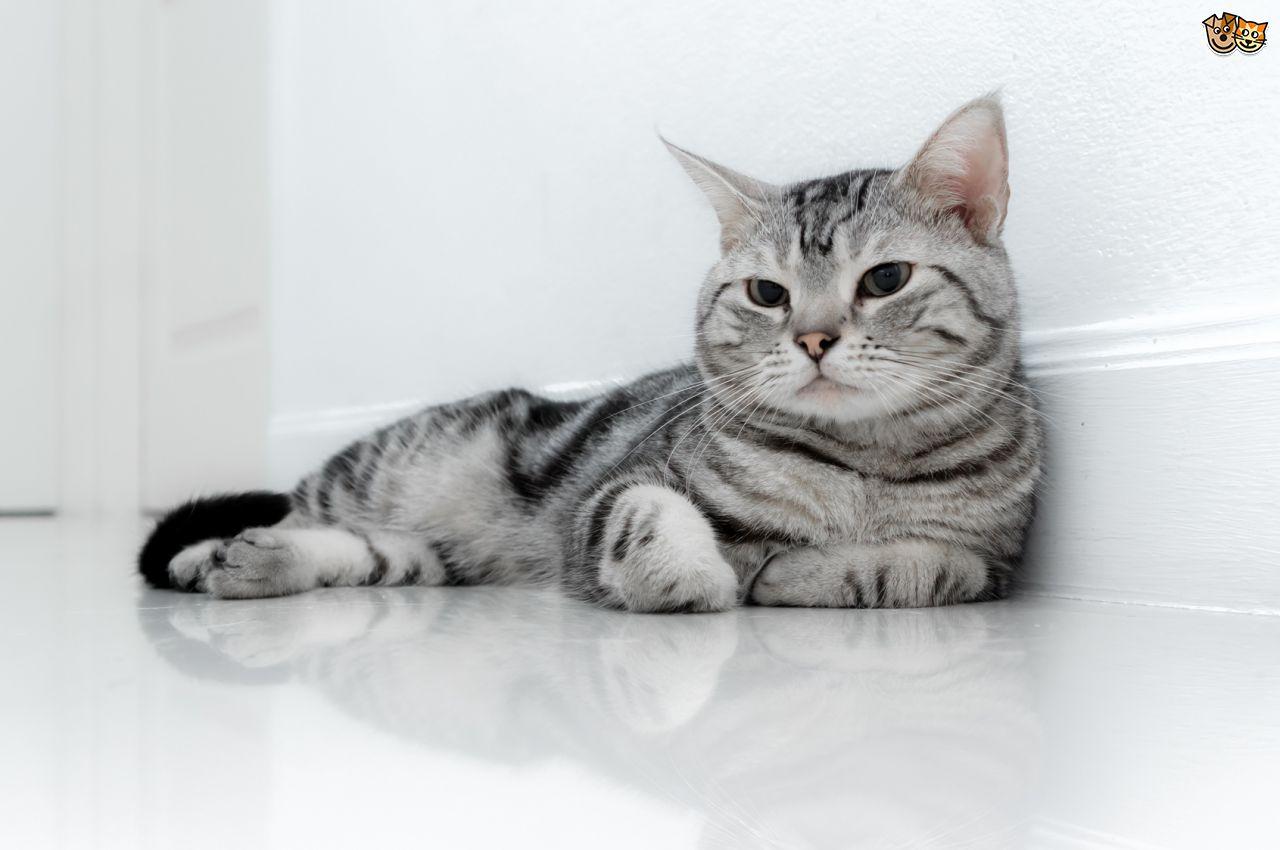 Grey American Shorthair Cat Sitting Photo