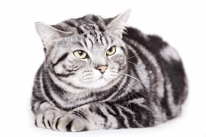 Grey American Shorthair Cat Sitting