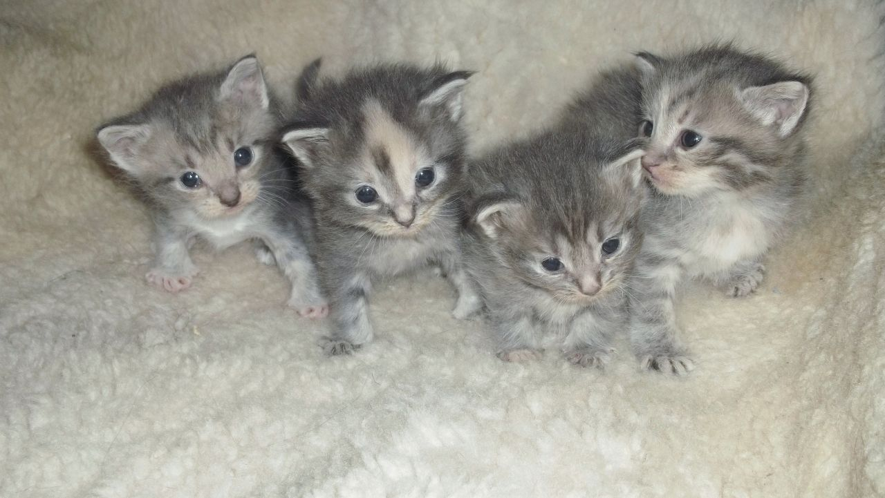 American Wirehair Kittens For Sale Uk - WIRE Center •