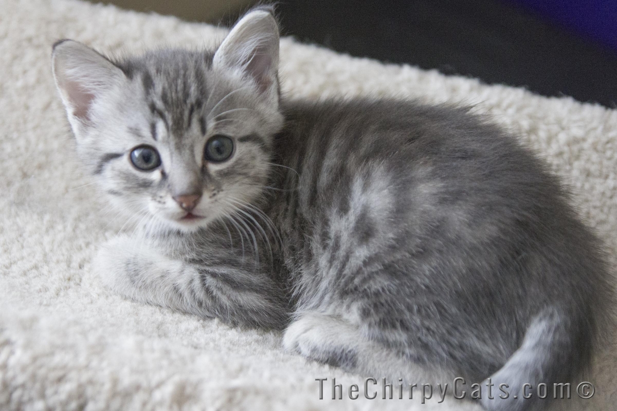 Silver Tabby Cat Names Male