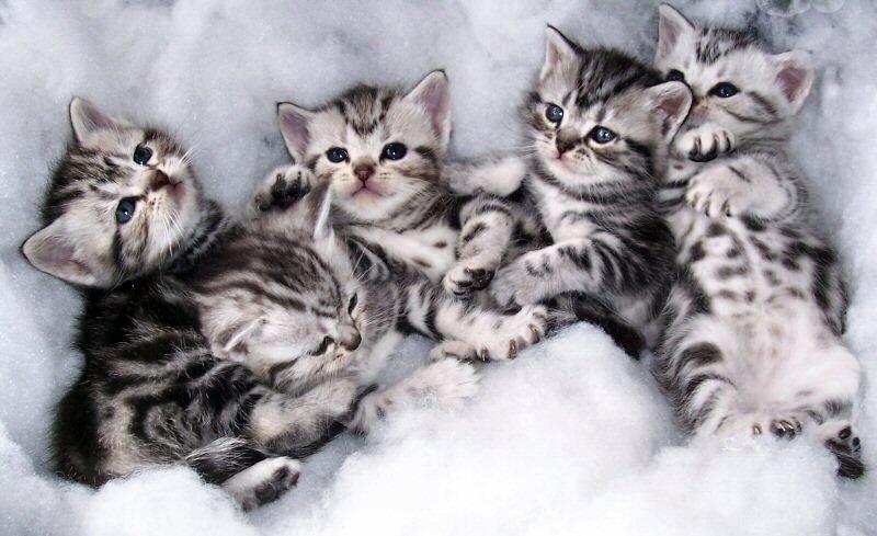 Group Of American Shorthair Kittens
