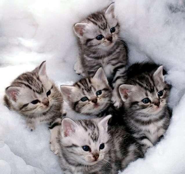 Group Of Cute American Shorthair Kittens