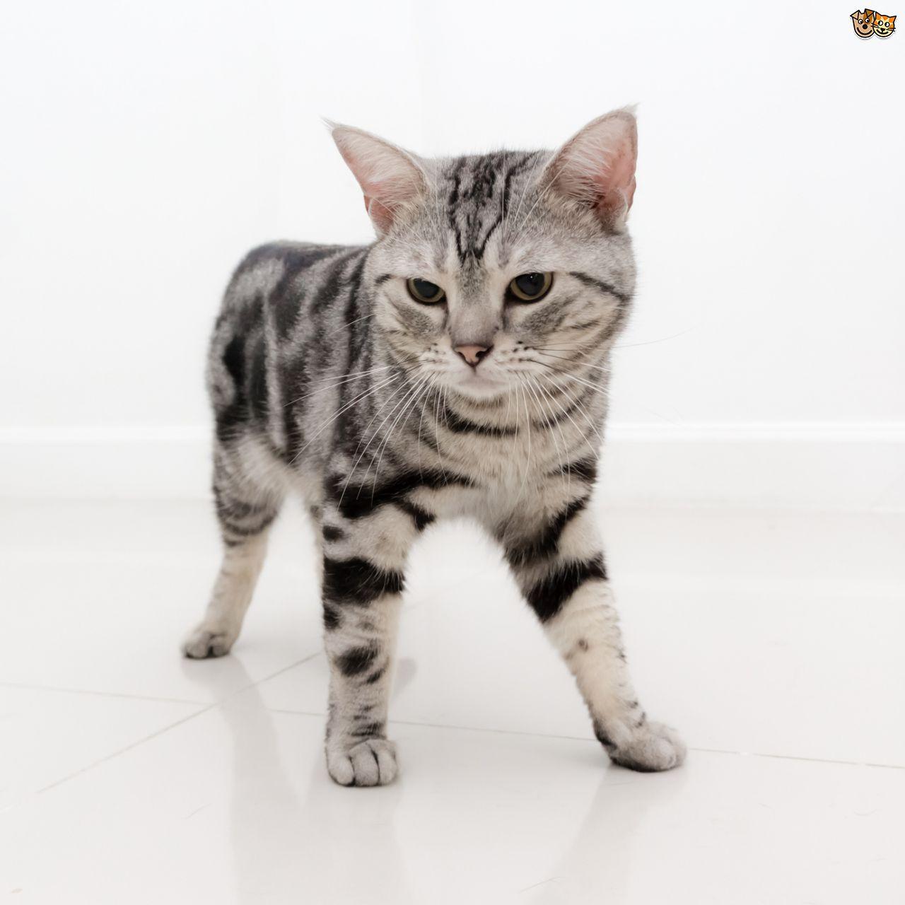 Lovely Silver American Shorthair Kitten