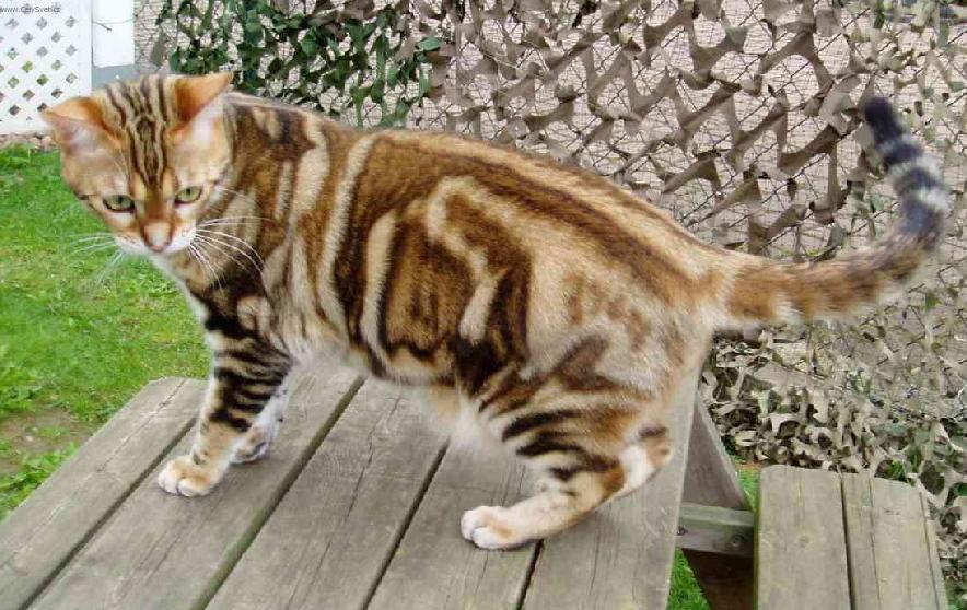 Orange American Shorthair Cat Standing On Table In Garden
