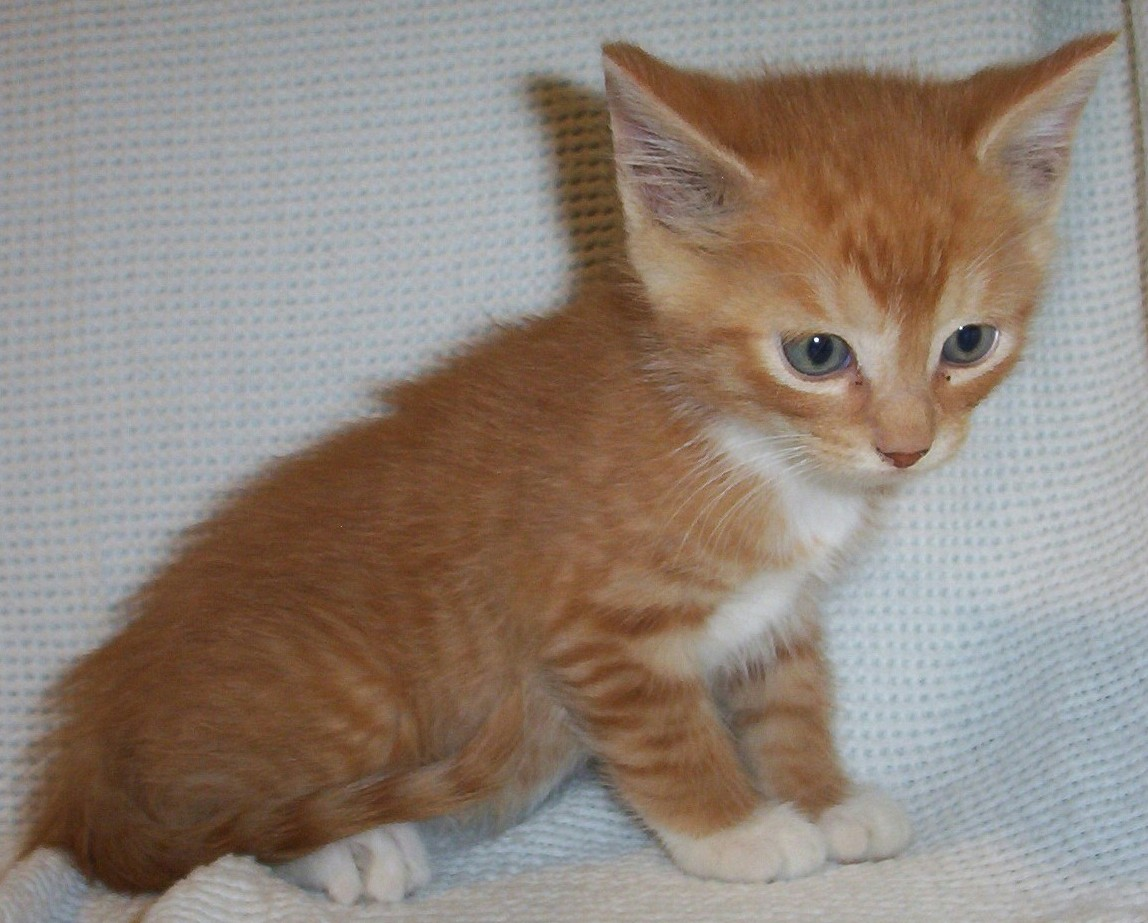 25 most Adorable Orange American Shorthair Cat Pictures ...