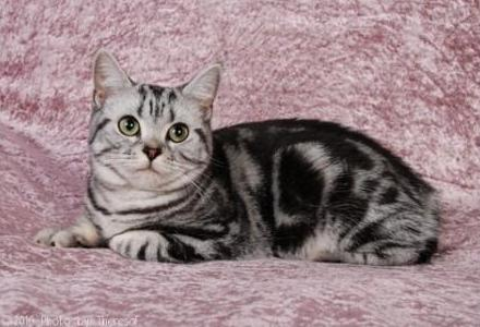 Tabby American Shorthair Cat Sitting Image