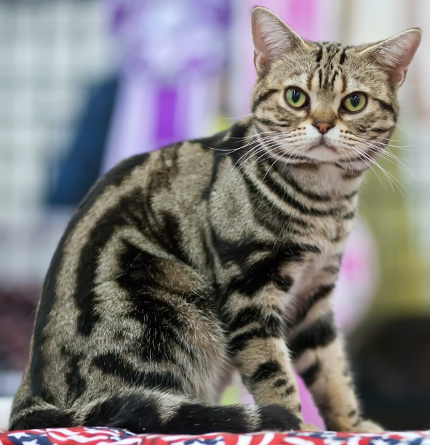 Tabby American Shorthair Cat Sitting On Bed