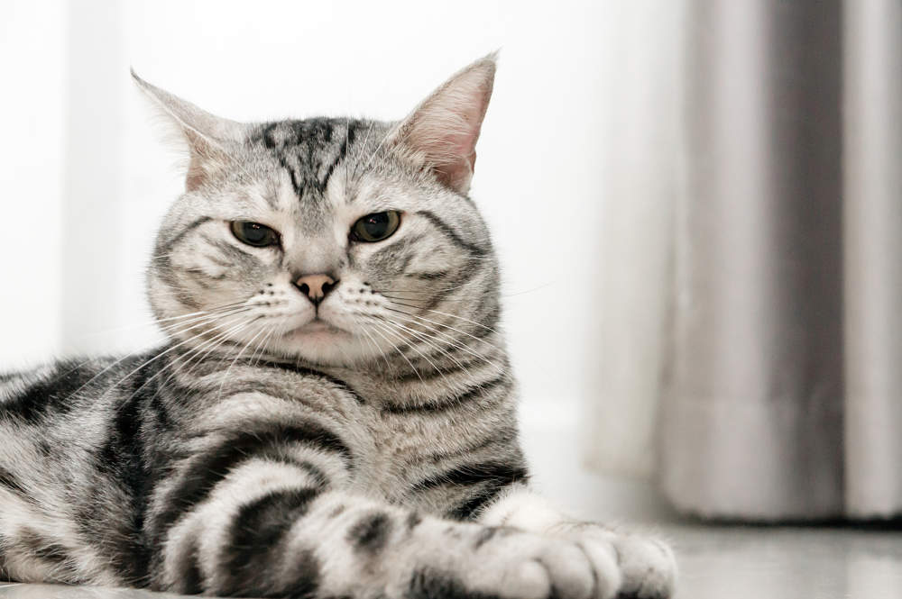 Tabby American Shorthair Cat Sitting Photo