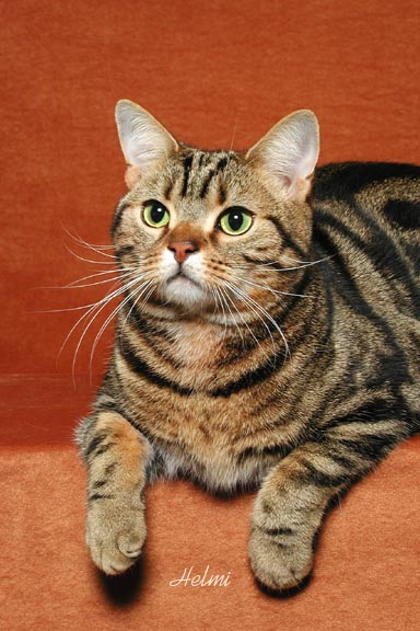 Tabby American Shorthair Cat Sitting Picture