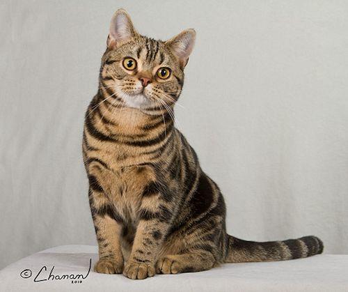 Tabby American Shorthair Cat Sitting