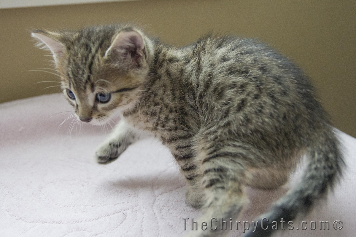 50 Very Cute Egyptian Mau Kitten Pictures And Photos