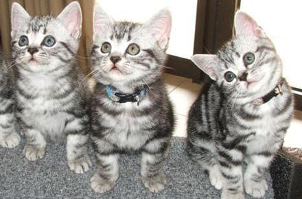 Three Cute American Shorthair Kittens Looking Up