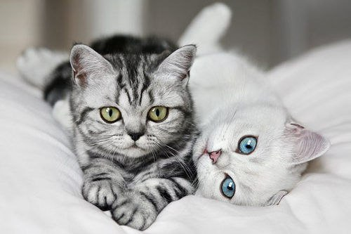 Two American Shorthair Kittens Laying On Bed