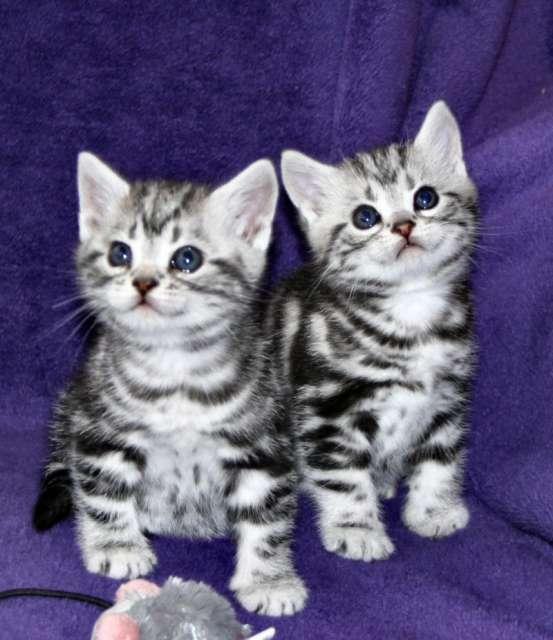 Two Little American Shorthair Kittens