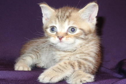 American shorthair kittens for sale in az