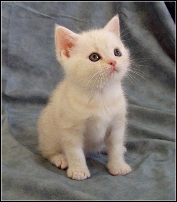 12 Most Beautiful White American Shorthair Cat Photos And ...