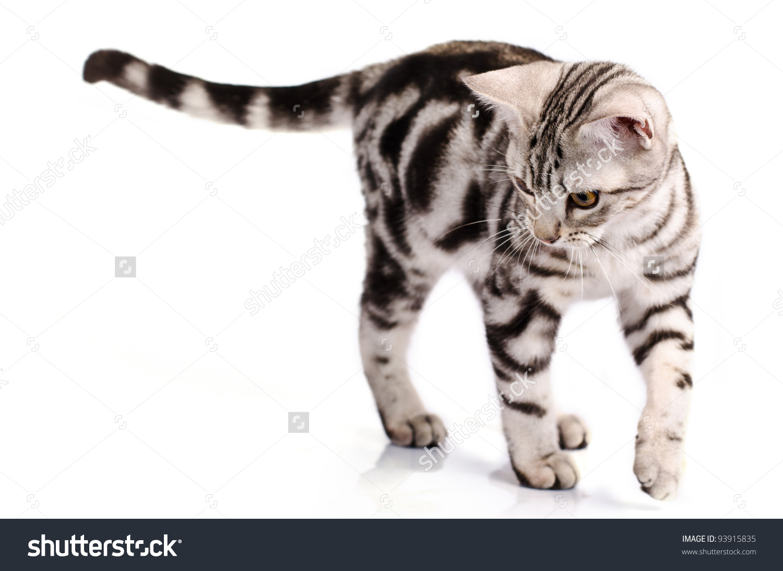 White And Brown Tabby American Shorthair Cat Walking