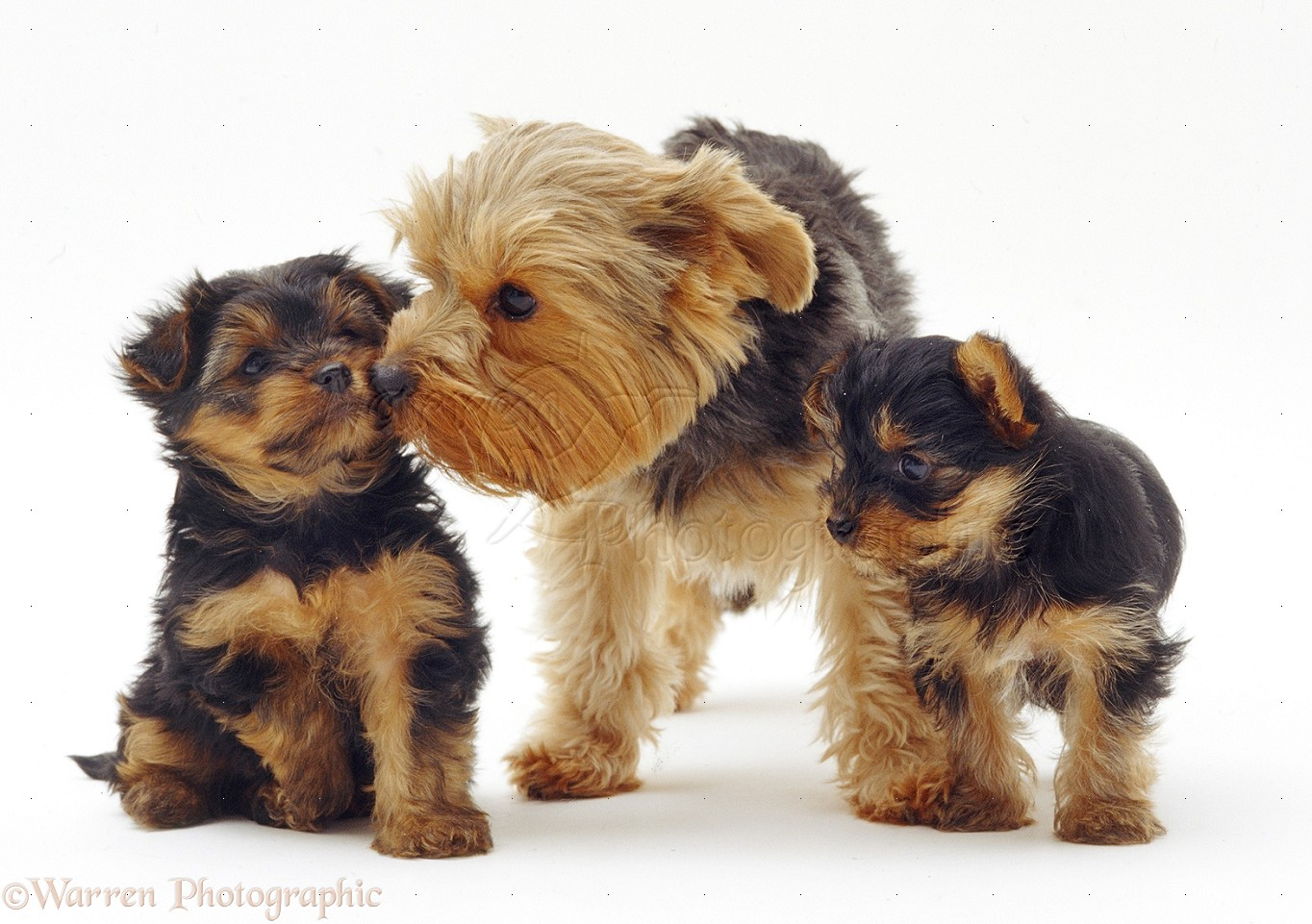 Yorkshire Terrier Dogs And Puppies - 4k Wallpapers