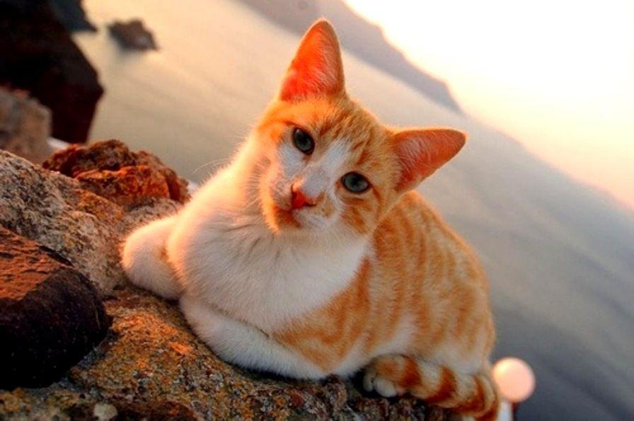 Aegean Cat Price
