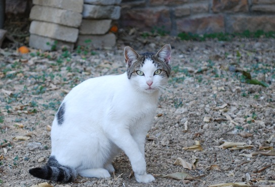 White Aegean Cat