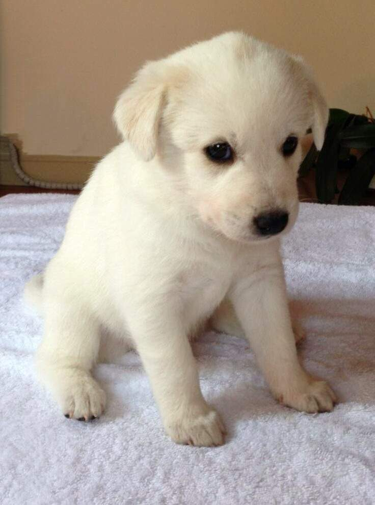 Cute White Puppy Dogs | www.pixshark.com - Images ...